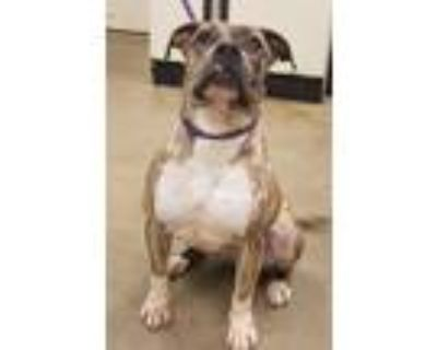 Adopt Barbie a Brindle Boxer / Pit Bull Terrier / Mixed dog in Amarillo