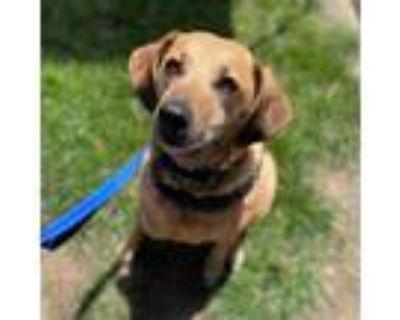 Adopt Milo a Brown/Chocolate Labrador Retriever / Mixed Breed (Medium) / Mixed