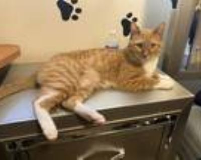 Adopt Oliver a Orange or Red Tabby American Shorthair / Mixed (short coat) cat