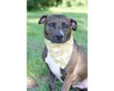 Adopt Ally a Brown/Chocolate - with White Hound (Unknown Type) / Boxer / Mixed