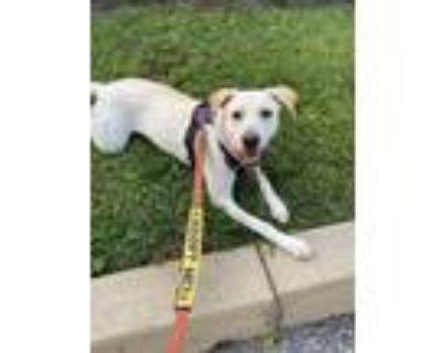 Adopt Abby a Tan/Yellow/Fawn Labrador Retriever / Mixed dog in Doylestown