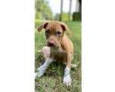 Adopt Petal a Labrador Retriever