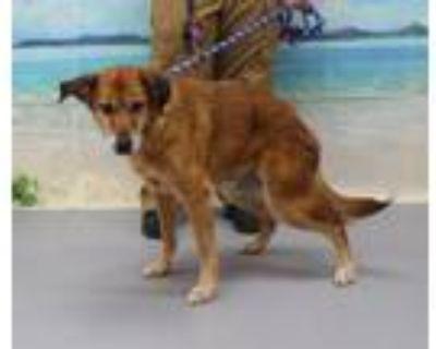 Adopt A695947 a Labrador Retriever