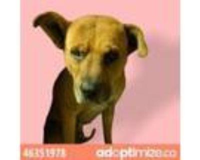 Adopt 46351978 a Brown/Chocolate Mastiff / Mixed dog in El Paso, TX (31481635)