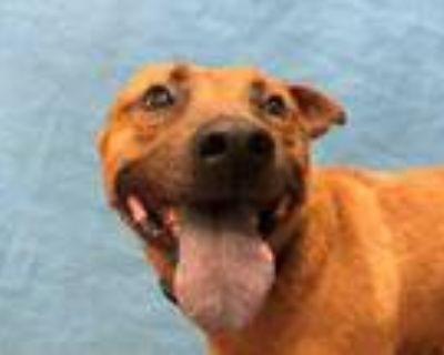 Adopt Wilbur a Red/Golden/Orange/Chestnut Shepherd (Unknown Type) / Chow Chow /