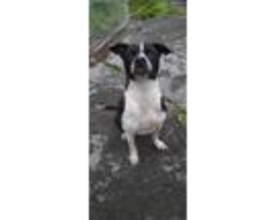 Adopt Leonidas a Black - with White Staffordshire Bull Terrier / Mixed dog in