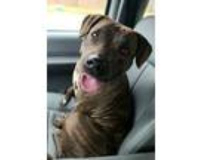 Adopt Rose a Brown/Chocolate Plott Hound / Mountain Cur / Mixed dog in Fort