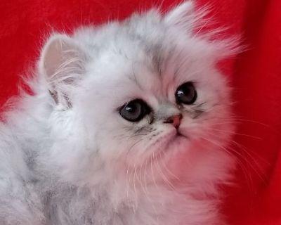 CFA Shaded Silver Male Kitten