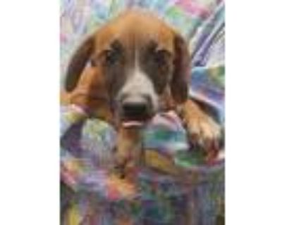 Adopt Snickers a Beagle, Mixed Breed