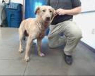Adopt BARRETT a Tan/Yellow/Fawn Chow Chow / Mixed dog in Phoenix, AZ (31506625)