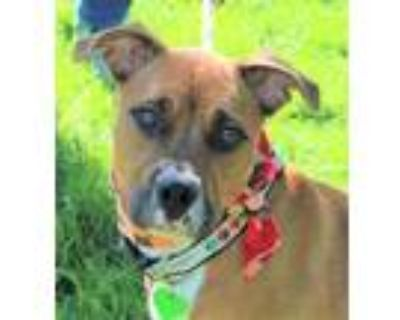 Adopt Kiwi (Main Campus) a Brown/Chocolate Boxer / Mixed dog in Louisville