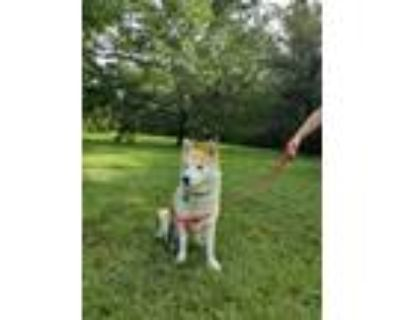 Adopt Buddy a White - with Tan, Yellow or Fawn Siberian Husky / Chow Chow /