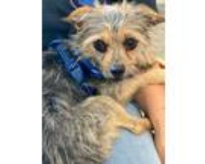 Adopt Liloh a Yorkshire Terrier, Poodle