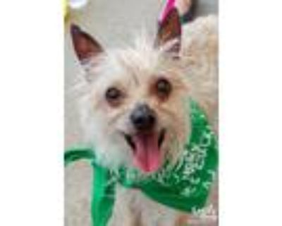Adopt Seven a Yorkshire Terrier