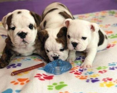Champion Bloodline English Bulldog Puppies