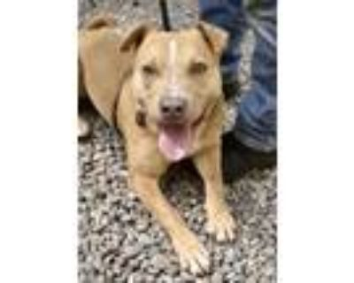 Adopt Indy a Pit Bull Terrier, Mixed Breed