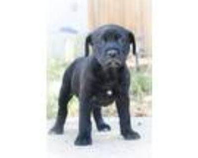 Adopt Racquel a Black - with White Labrador Retriever / Australian Shepherd dog
