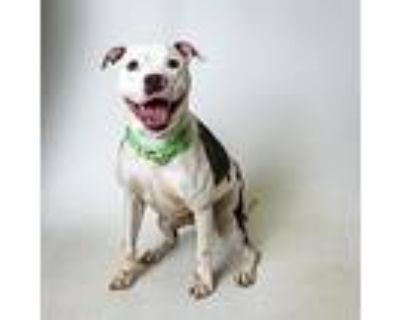 Jagger, American Pit Bull Terrier For Adoption In Springfield, Illinois