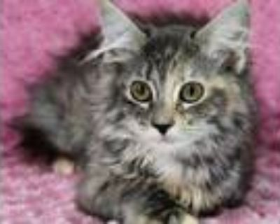 Adopt Connie a Gray or Blue Domestic Longhair / Domestic Shorthair / Mixed cat