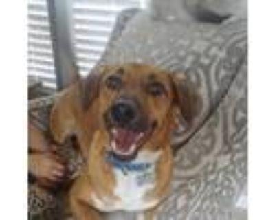 Adopt Carson a Red/Golden/Orange/Chestnut Dachshund / Beagle / Mixed dog in