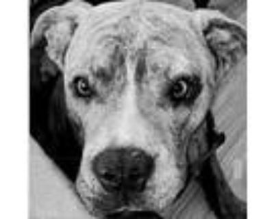 Matcha, Staffordshire Bull Terrier For Adoption In Colorado Springs, Colorado