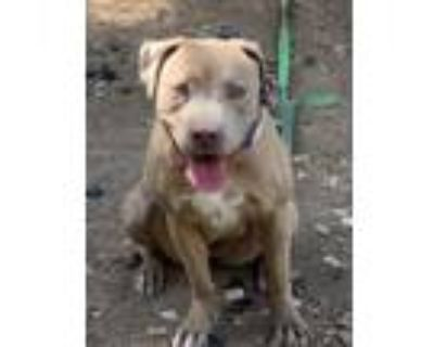 Adopt Egypt a Tan/Yellow/Fawn - with White American Staffordshire Terrier /