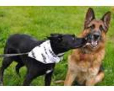 Adopt King and Nina a German Shepherd Dog