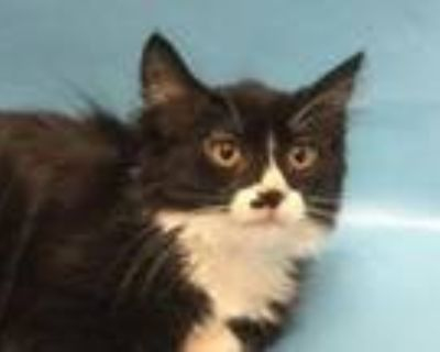 Adopt Venus a Domestic Long Hair, Domestic Short Hair