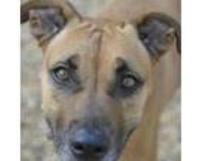 Adopt Choco a Chocolate Labrador Retriever, Mixed Breed