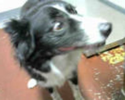 Adopt BLUE a Black - with White Border Collie / Mixed dog in Atlanta