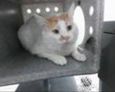 Adopt SCRAPPY a White (Mostly) Domestic Mediumhair / Mixed (medium coat) cat in