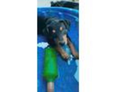 Adopt Lilly Pad - Fostered in Omaha a Beagle, Mixed Breed