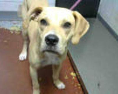Adopt GERALD a Tan/Yellow/Fawn Labrador Retriever / Mixed dog in Atlanta