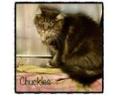 Adopt CHUCKLES a Gray or Blue (Mostly) Domestic Longhair (long coat) cat in