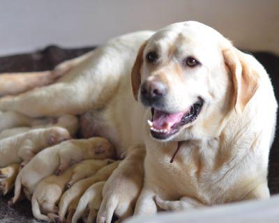 Yellow English Labrador Retriever Puppies❤️Hip Elbow Certified