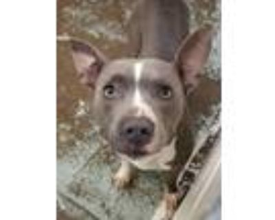 Adopt Birdie a Pit Bull Terrier, Mixed Breed
