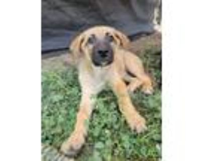 Adopt Hermione a Tan/Yellow/Fawn - with Black Shepherd (Unknown Type) / Mixed