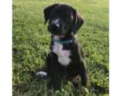 Adopt Rowdy a Black Labrador Retriever, Hound