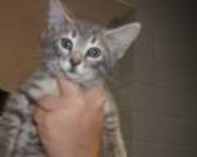 Adopt Pixel a Gray or Blue (Mostly) Domestic Shorthair (short coat) cat in Troy