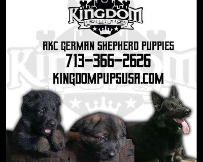 Working Line German Shepherd Puppies,  LOOKING FOR Forever homes