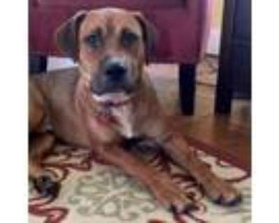 Adopt Bronson a Hound, Labrador Retriever