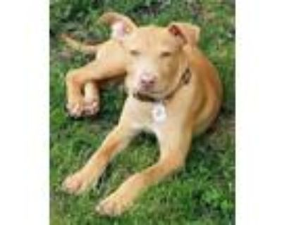 Adopt Peter a Tan/Yellow/Fawn Pit Bull Terrier dog in Amherst, NY (31521817)