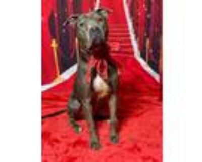 Adopt Adorable Elliott a Staffordshire Bull Terrier