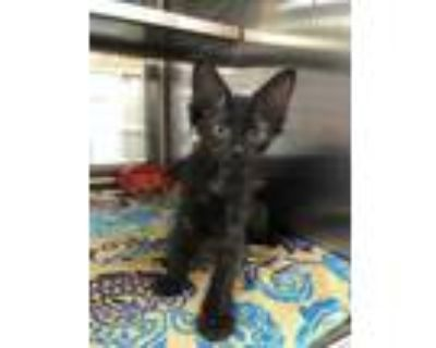 Adopt Tostada a All Black Domestic Shorthair / Domestic Shorthair / Mixed cat in