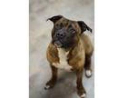 Remi, American Pit Bull Terrier For Adoption In Villa Park, Illinois