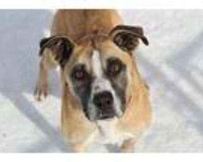 Rae, American Pit Bull Terrier For Adoption In Hibbing, Minnesota