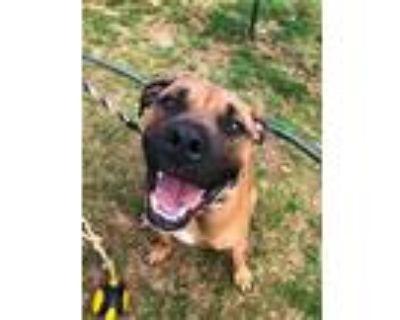 Adopt Bane (FKA Finn Puppy) a Boxer