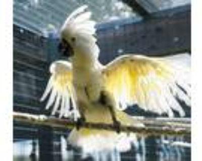 Adopt Charlie a Cockatoo