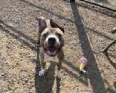 Adopt *PRINCE CHARLES a Brown/Chocolate American Pit Bull Terrier / Mixed dog in