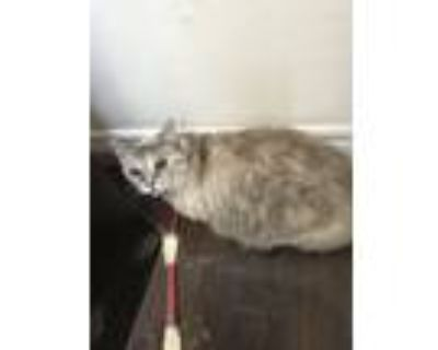 Adopt Ringtale a Cream or Ivory (Mostly) Snowshoe (short coat) cat in Santa